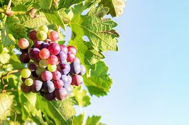 Wine Grapes At A Vineyard Against A Blue Sky, With A Place For Text