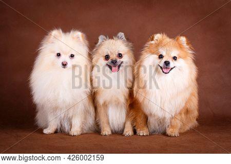 3 Cute Pomeranian Spitz Dogs On Brown Background.