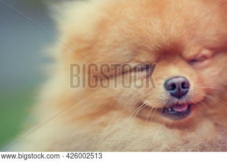 Portrait Of A Tiny Pomeranian Spitz Puppy
