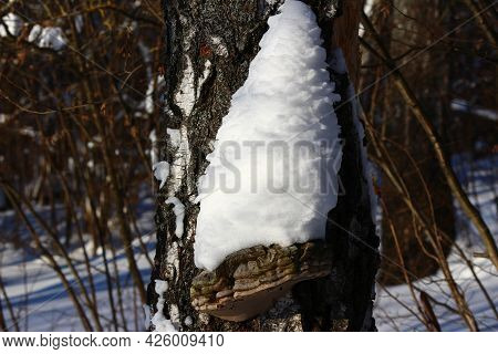 A Pile Of Snow On A Tinder Fungus Growing On A Birch, Winter In The Forest