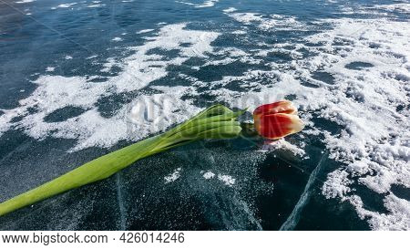 A Bright Red Tulip On A Long Stem Lies On A Frozen Lake. Some Snow On Blue Ice, Deep Cracks. Close-u