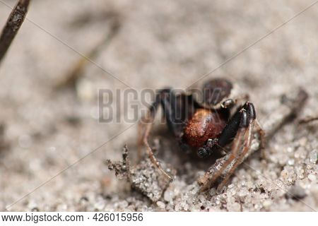 Spider Living In The Forest. Spider On The Sand Near The Cone.