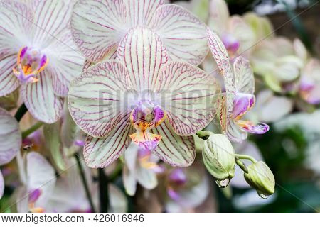 Colorful Orchid Flowers With Water Drops Hanging From The Buds