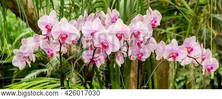 Panorama Of Pink And Purple Orchid Flowers In A Jungle Background