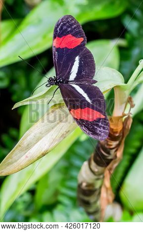 Red Postman Butterfly (heliconius Erato) Sitting On A Green Plant