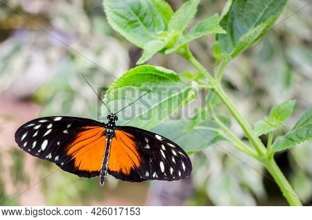 Heliconius Hecale Black And Orange Butterfly Sitting On A Green Plant