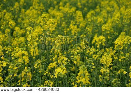 Rape Is Blooming In The Field, Full Frame. Plant For The Production Of Biodiesel.