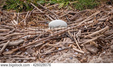 Close Up Of Swan Egg In Natural Environment.one Egg Of Mute Swan In The Nest In Spring. Cygnus Olor.