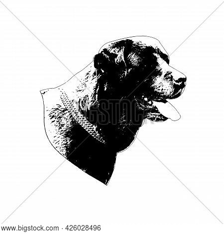 Black And White Portrait Of A Dog On A White Background. Adult Beautiful Labrador Retriever Head. Go