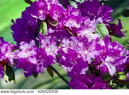 Pink Rhododendron Azalea Variety Crinoline, Flowers With Dark Pink Spots On The Petals And A Dark Bl