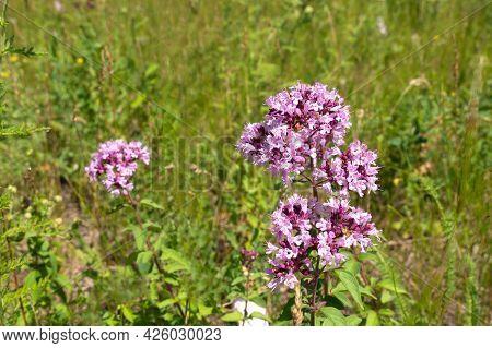 Inflorescence Of Oregano, Origanum Vulgare, In The Meadow, Selected Focus.