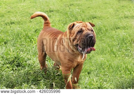 Red-haired Shar Pei Dog On A Green Field. Pet For A Walk. Pedigree Breeding Of Purebred Dogs For Hom