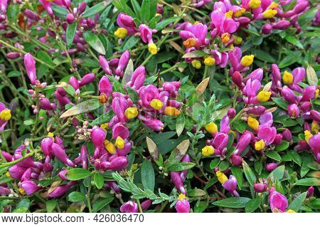 Polygala Chamaebuxus, The Shrubby Milkwort, Is An Ornamental Plant. It Is Native To The Alps And The