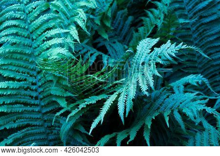 Beautiful Ferns Leaves Green Foliage Natural Floral Fern Background In Darkness. Mysterious Backgrou