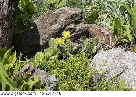 In The Rockery Garden, A Cactus Called Prickly Pear Has Bloomed With Beautiful Yellow Flowers.