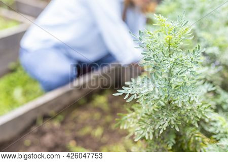 Selective Focus Of A Rue Plant In The Garden With An Out-of-focus Woman In The Background