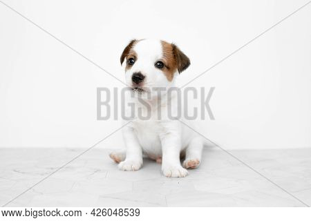 Close-up Cute Little Puppy Of Jack Russell Terrier Dog. Jack Russell Terrier Puppy On A White Backgr