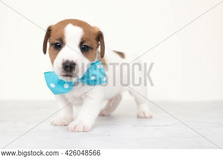 White Puppy With A Blue Bow Tie On A White Background.close-up Cute Little Puppy Of Jack Russell Ter