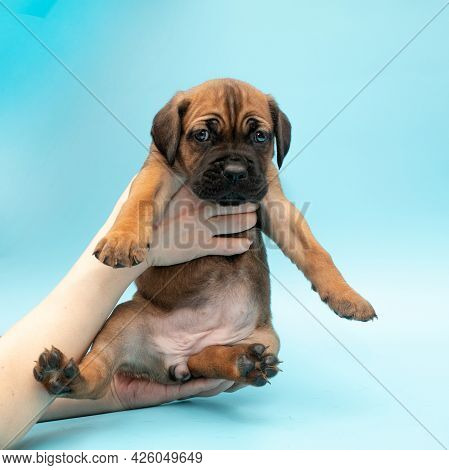 Brown Puppy On A Blue Background. Little Cane Corso. Dog Show. Pedigree Dog. Brown Cane Corso Puppy