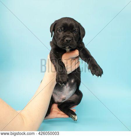Black Puppy On A Blue Background. Little Cane Corso. Dog Show. Pedigree Dog.