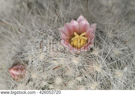 Closeup Of Powder Puff Cactus, Mammillaria Bocasana