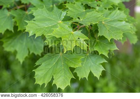 Summer Green Color Of The Deciduous Maple Tree Of The Family Aceraceae