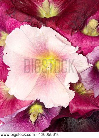 Mallow Flower Close Up Core Summer Time