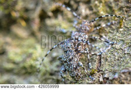 Close-up Of A Pair Of Mimic Variegated Beetles