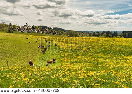 Blooming Dandelion Meadow And Pasture With View Of The Village Of Breitnau, Black Forest, Baden-wuer