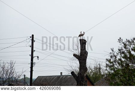 A Pair Of White Storks On A Nesting Pole On Old Tree. Stork In Countryside. Wild Birds Nesting. Bird
