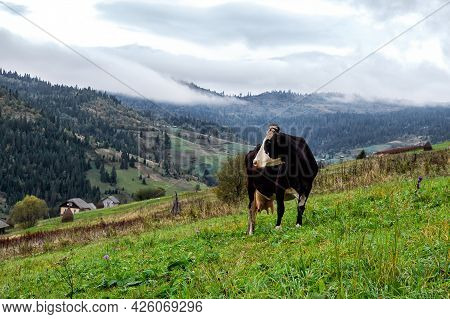 Cow In A Meadow Among The Mountains. Animals.