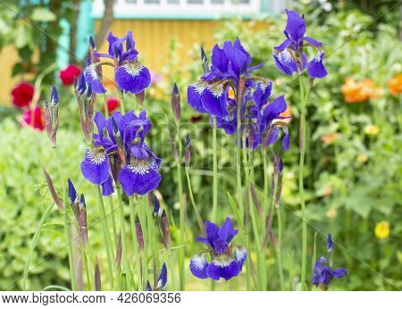 Violet And Blue Iris Flowers Closeup On Green Garden Background. Sunny Day. Lot Of Irises. Blue And