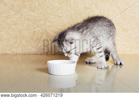 Kitten Eats Food From A Small Bowl At Home. Scottish Strite Kitten.
