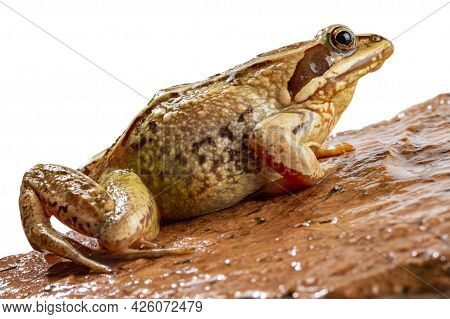 Common Frog Close-up Sits On A Red Wet Stone, White Background