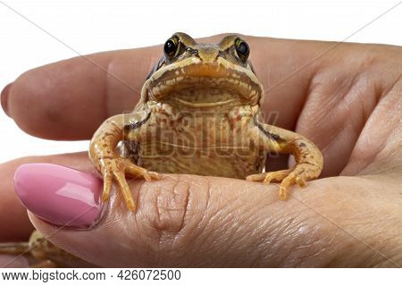 Common Frog Rests Its Paws On A Female Hand, Close-up, Kiss The Frog, White Backdrop
