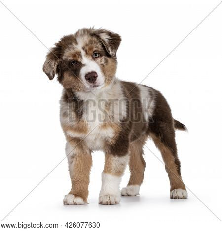 Cute Red Merle White With Tan Australian Shepherd Aka Aussie Dog Pup, Standing Facing Front. Looking