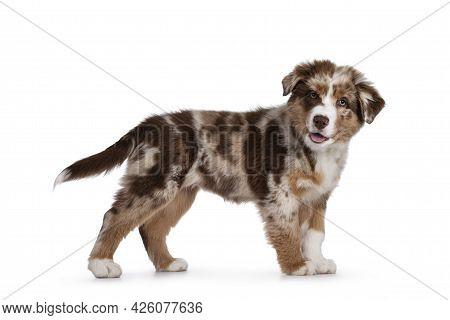 Cute Red Merle White With Tan Australian Shepherd Aka Aussie Dog Pup, Standing Side Ways. Looking To