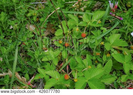 Wild Strawberry In The Forest. Gathering Wild Strawberries In The Woods Close-up. Wild Strawberries