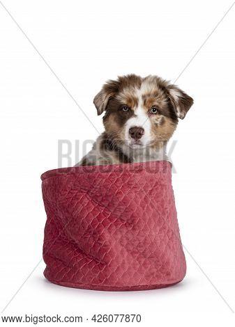 Cute Red Merle White With Tan Australian Shepherd Aka Aussie Dog Pup, Sitting In Pink Velvet Bag. Lo
