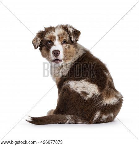 Cute Red Merle White With Tan Australian Shepherd Aka Aussie Dog Pup, Sitting Backwards Looking Over
