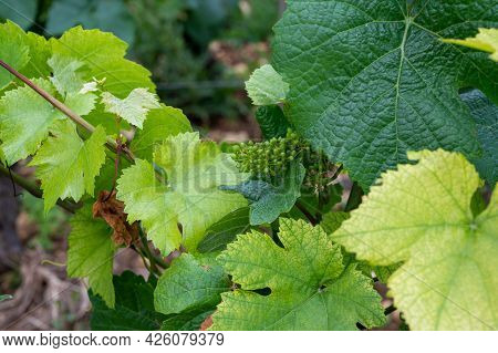 Young Green Grapes On Grand Cru And Premier Cru Vineyards With Rows Of Pinot Noir Grapes Plants In C