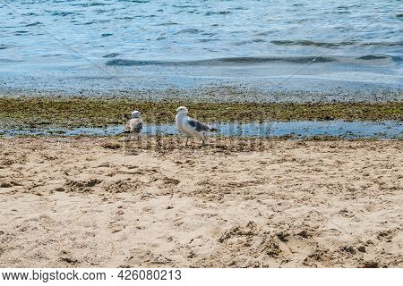 Two Seagulls On The Shores Of The Dirty Black Sea In Zaliznyi Port (ukraine). Wild Birds Stand On Wh