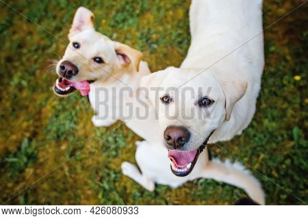 two happy yellow lab dogs
