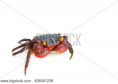 Freshwater Crab,nature Crab Isolated On White Background