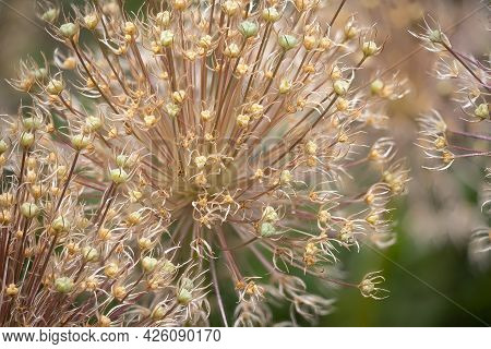 Detail Of Allium Globemaster Flower With Blurred Background, Photograph Made With Focus Stacking