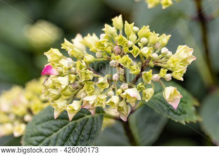 Detail Of Yellow Hortensia Flower With Blurred Background, Photograph Made With Focus Stacking