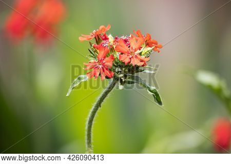 Detail Of Red Lychnis Chalcedonica Flower With Blurred Background, Photograph Made With Focus Stacki