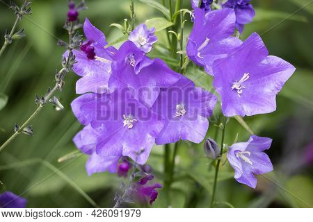 Detail Of Purple Campanula Persicifolia Flower With Blurred Background, Photograph Made With Focus S