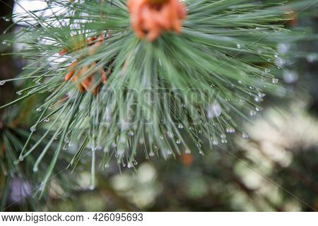 Branch Of A Conifer Tree After Rain, With Drops Of Rain Visible