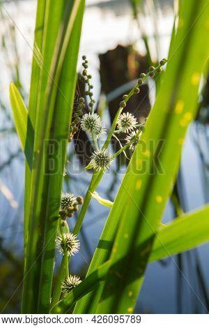 The Simplestem Bur-reed (sparganium Erectum) Plant Blooming At A Bank Of A Lake